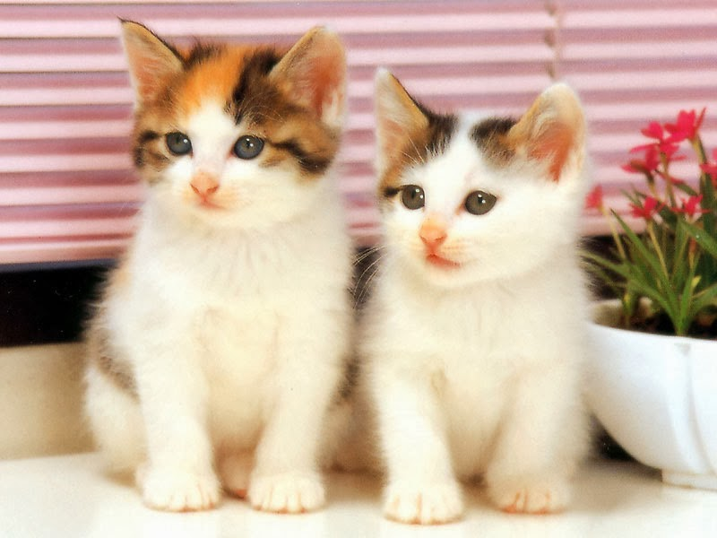 Cat Pictures Two Beautiful White Cats Wallpaper