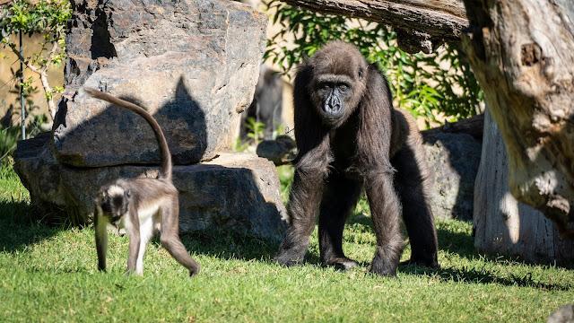 gorila Ebo