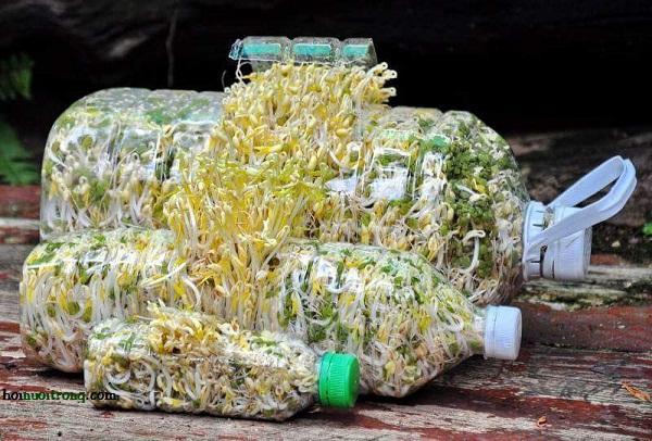 cach-lam-gia-do Cực hay: Cách trồng giá đỗ trong chai nhựa, 1 chai ú ụ đủ ăn cho 8 người