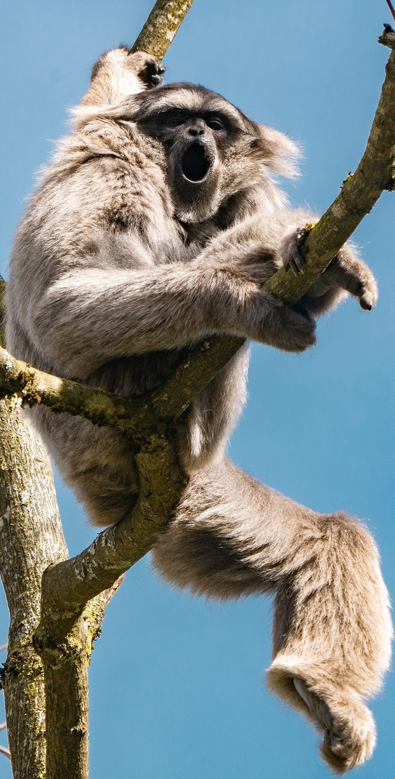 A gibbon on a tree.