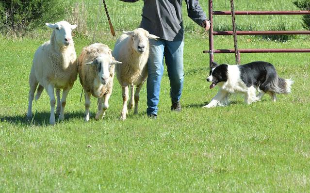 Herding Dog Training Shepherds Mouth Whistle
