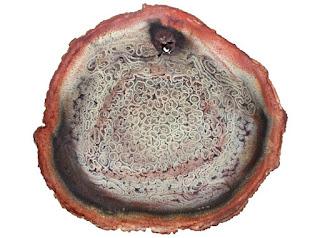 Petrified wood polished slice from Maranhão state of Brazil
