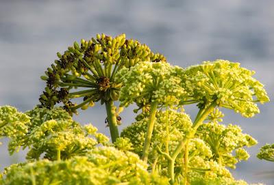herbal, Manfaat Tanaman Herbal, asafoetida, manfaat tanaman asafoetida, nutrisi asafoetida, gizi asafoetida,