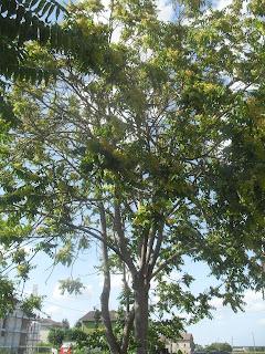 ailanto ombra albero spontaneo