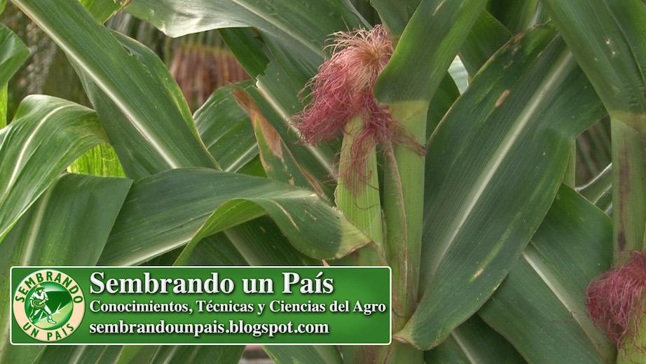 flor femenina del maíz