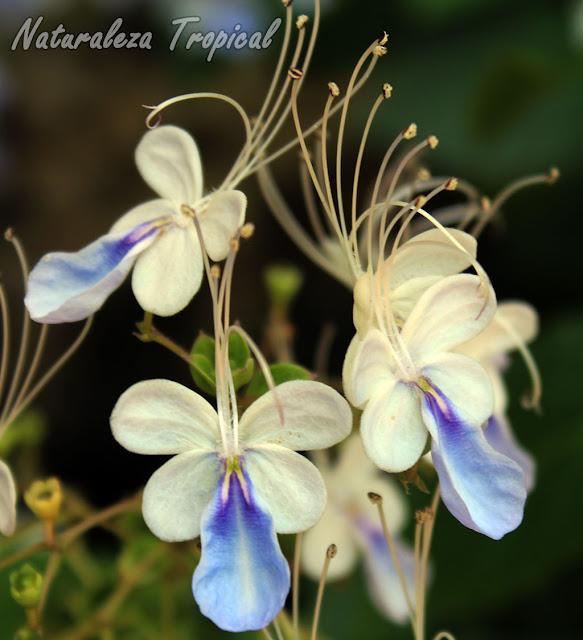 Detalle de las flores de la Mariposa Azul, Rotheca myricoides