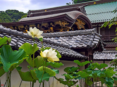 Sacred lotus flowers: Kencho-ji