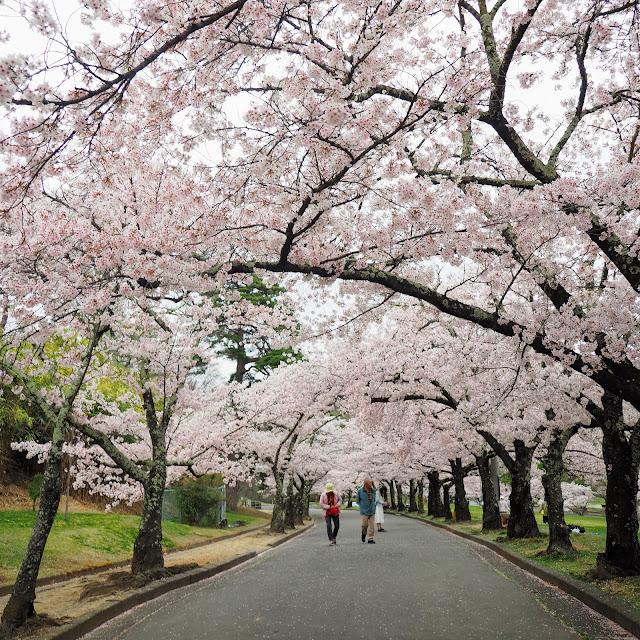 松本 城山公園 桜
