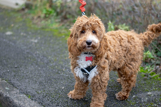 Red and white fluffy cockapoo standing up