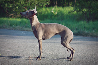 http://www.italiangreyhound.eu/p/abigail.html