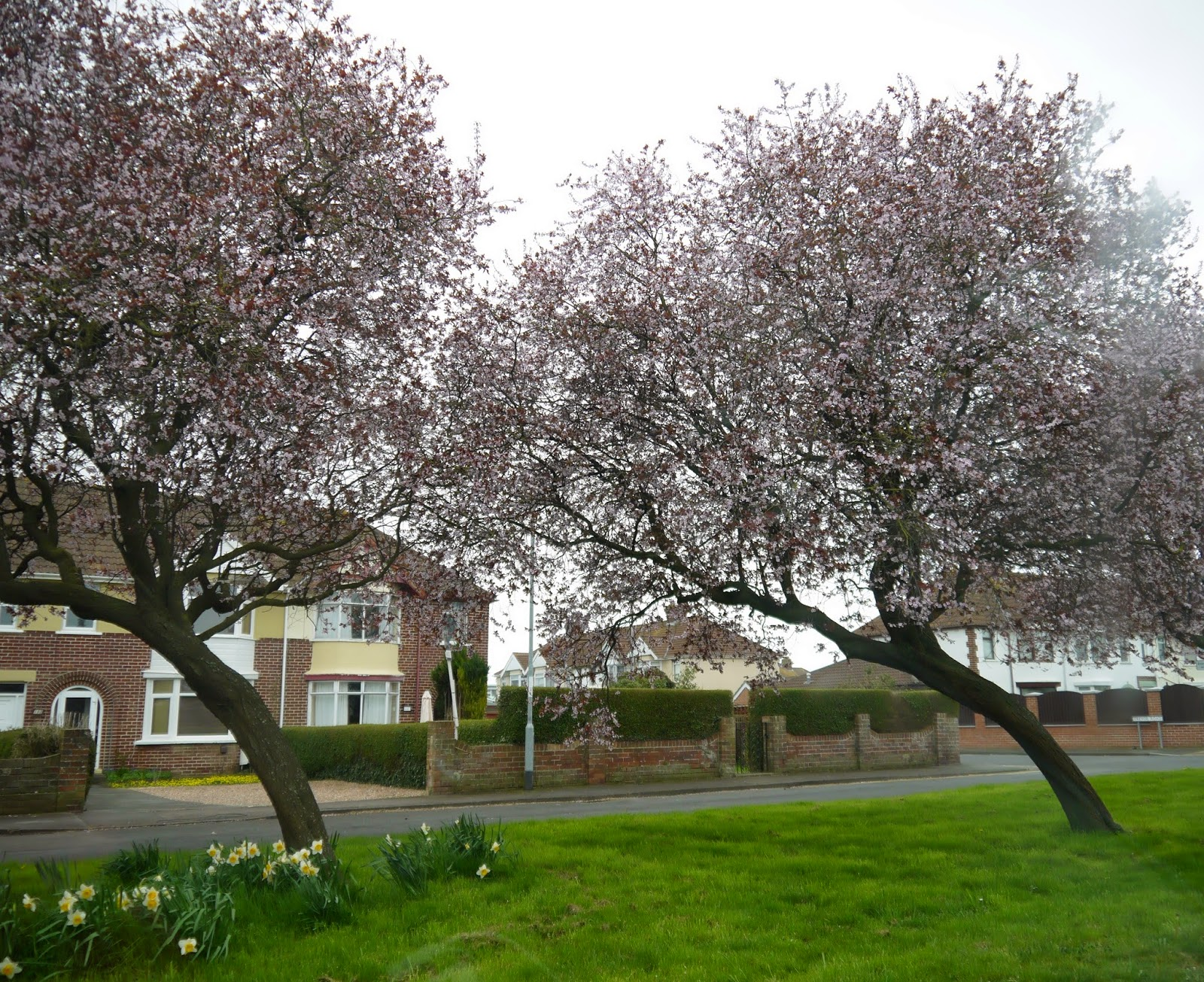 Blossom trees in Bridgwater