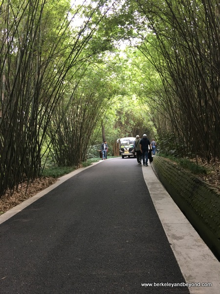 bamboo-lined road at Chengdu Research Base of Giant Panda Breeding in Chengdu, China