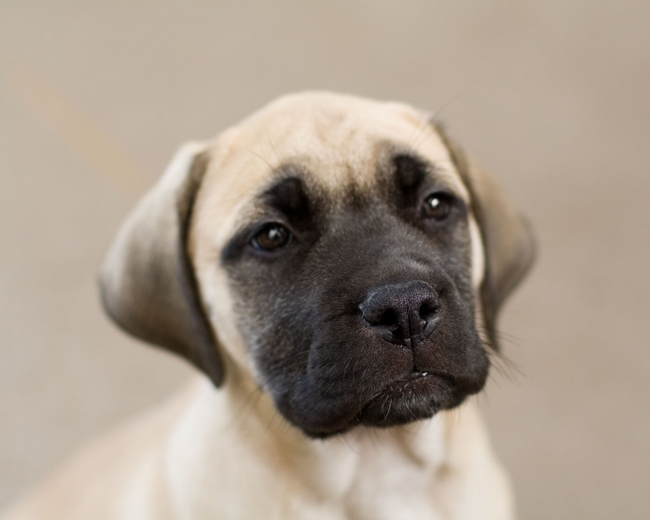 The Prince of Dundalk: Mastiff Monday