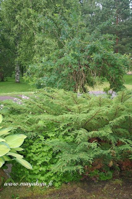 riippahernepuu puutarha