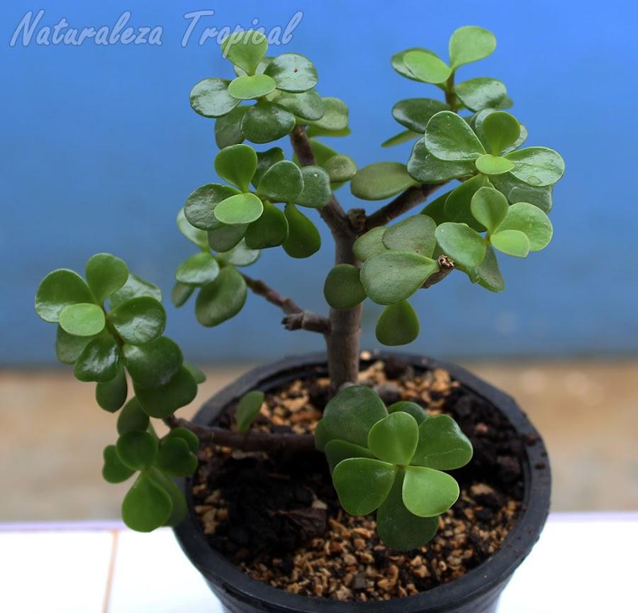 Árbol de la Abundancia, Portulacaria afra