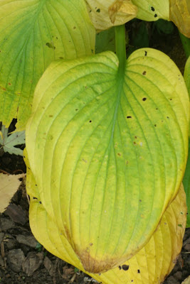 autumn_elegans_hosta_leaves_by_garden_muses: _Toronto_gardening_blog