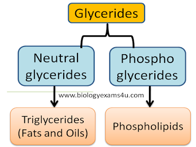 What are Glycerides