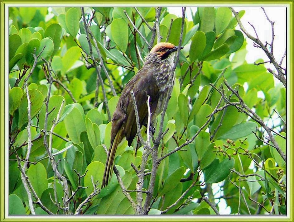 Agar Suara Burung Cucakrawa Berkualitas Bagus  Burung