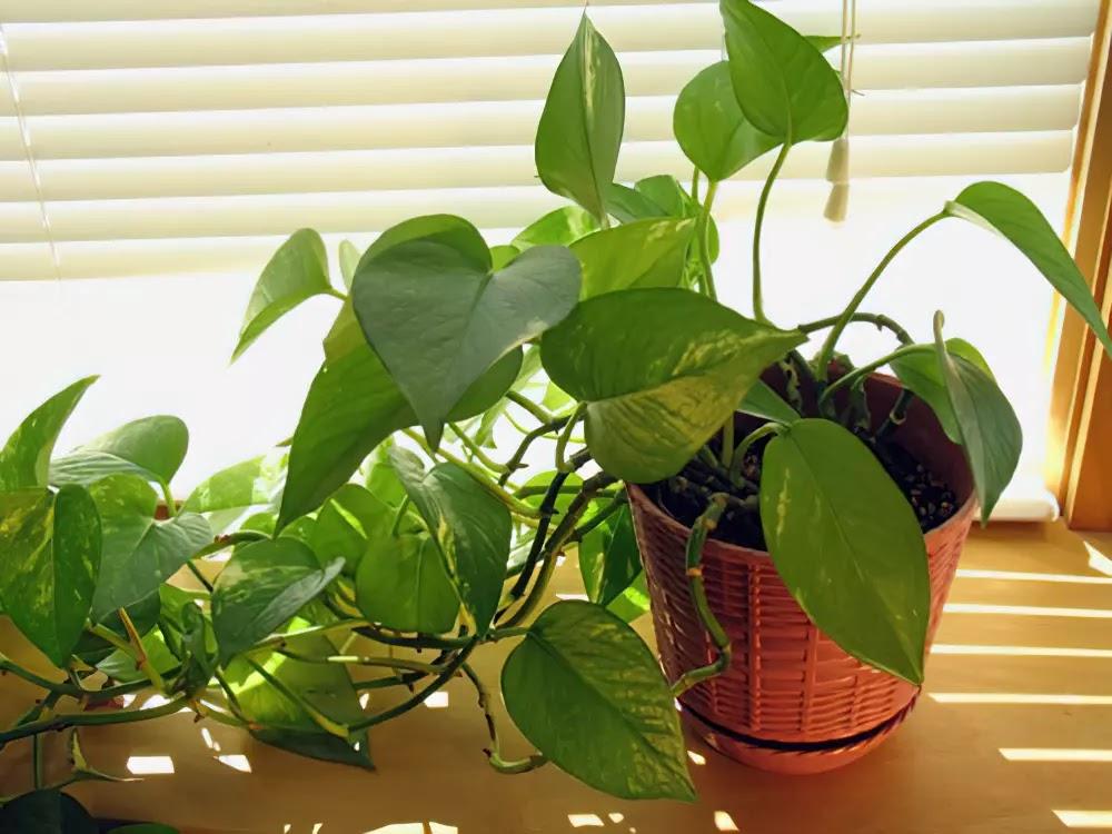 Cây trầu bà: Ý nghĩa phong thủy và cách trồng