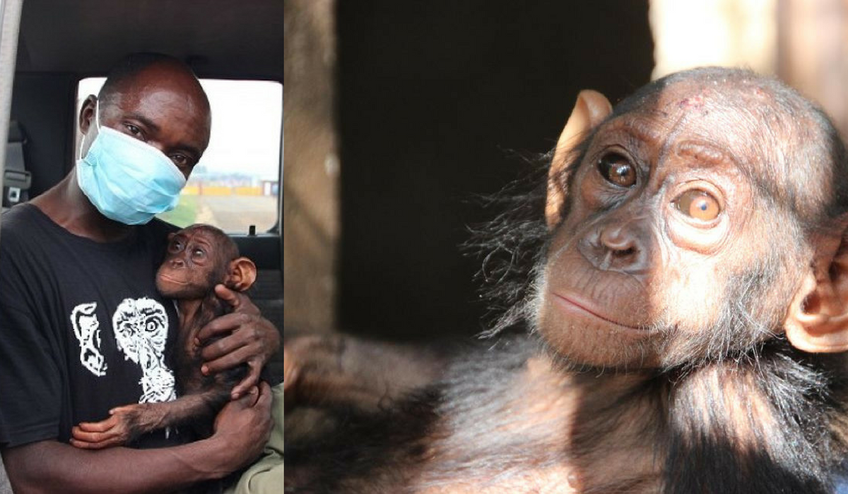 The Orphan Chimp That Begged for Someone to Save Her