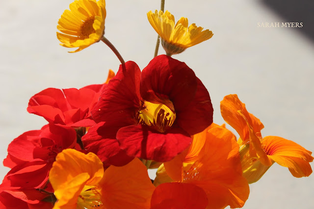 flowers, bouquet, nasturtiums, daisies, tetraneuris, geraniums, pelargoniums, bright, brilliant, colours, red, orange, yellow, scarlet, flame, vase, cluster, bunch, arrangement, small, spring, vivid, amy myers, sarah myers, light, sunlight, afternoon, sunny, photography, cheerful, happy, detail, up-close, macro