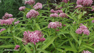 Swamp Milkweed pink blooms - © Denise Motard