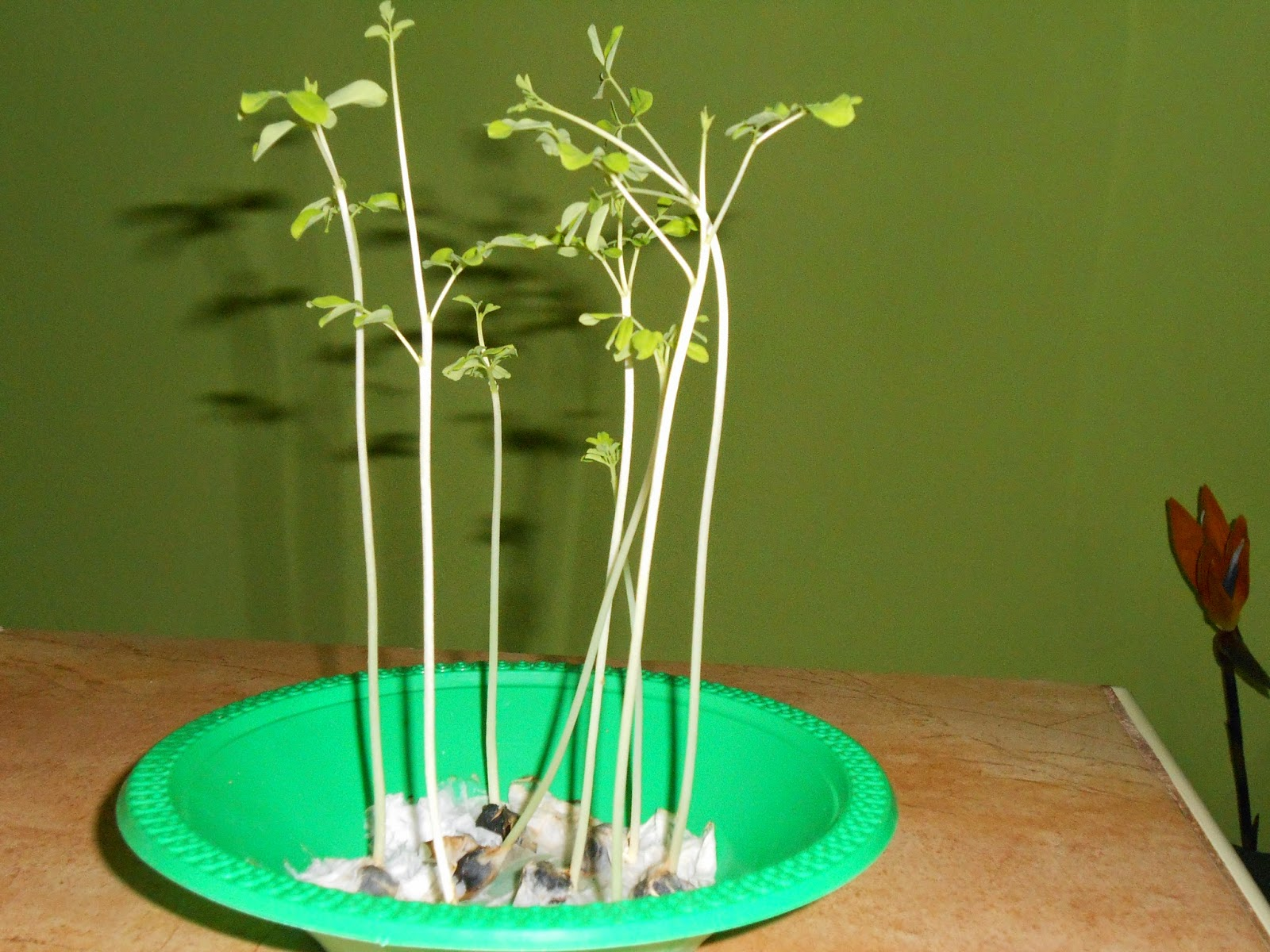 How to grow moringa from seed