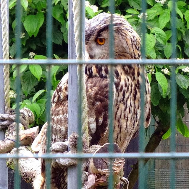 wild owl looks