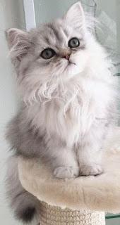 Wallpaper Whatsaap Kucing Lucu HD