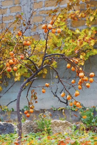How To Plant And Grow Persimmon Growing Persimmons From