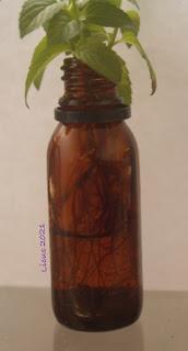 raíces de menta marroquí creciendo dentro de botella de vidrio color ámbar