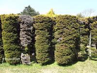 Cylindrical conifers - Kyoto Botanical Gardens, Japan