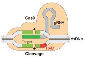 CRISPR-Cas9-genome-scissor