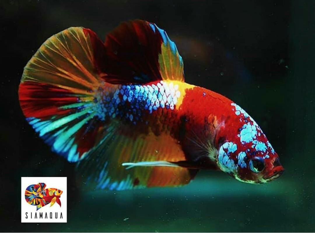 Cara Cepat Mengeluarkan Warna Ikan Cupang Cupang Sehat