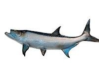 8 Manfaat ikan asin bagi tubuh