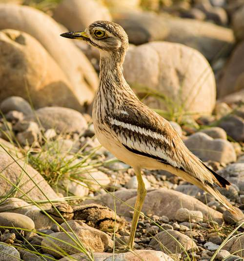 Photo of Indian thick-knee - Burhinus indicus