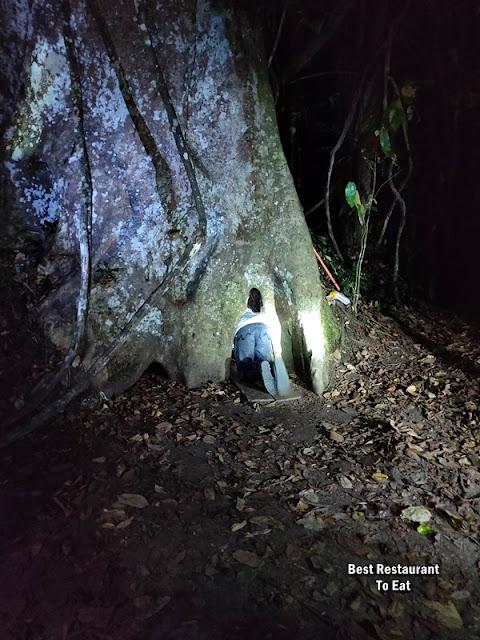 Myne Resort Bilit Sandakan Kinabatangan - Merbau Tree