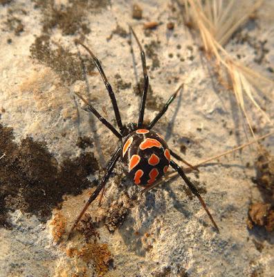 Fotografia araña negra con manchas rojas