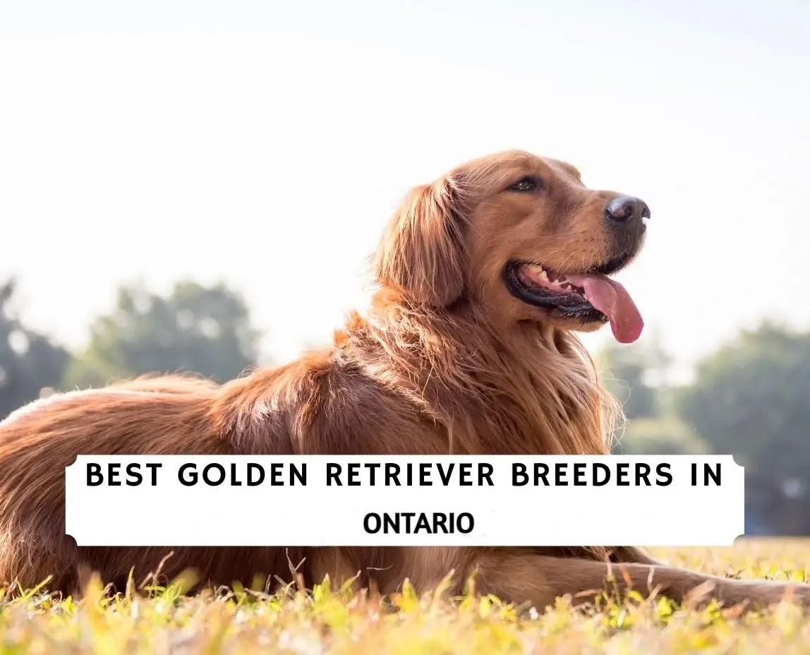Best Golden Retriever Breeders in Ontario