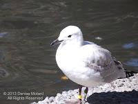 Black-billed gull ringed on both legs – Christchurch Botanic Garden – NZ - by Denise Motard