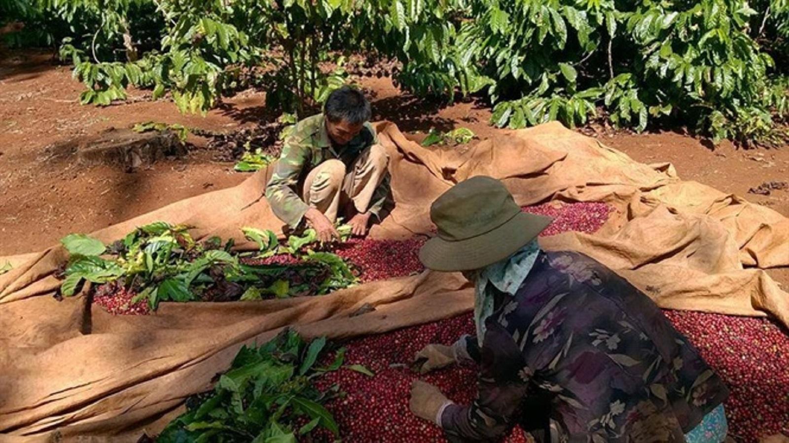 Tây Nguyên: Thu hoạch cà phê tới đâu bán tới đó, giá cao nhất trong 5 năm gần đây