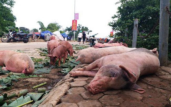 Ảnh lợn bị nhiễn địch tả lợn châu phi ( nguồn internet)
