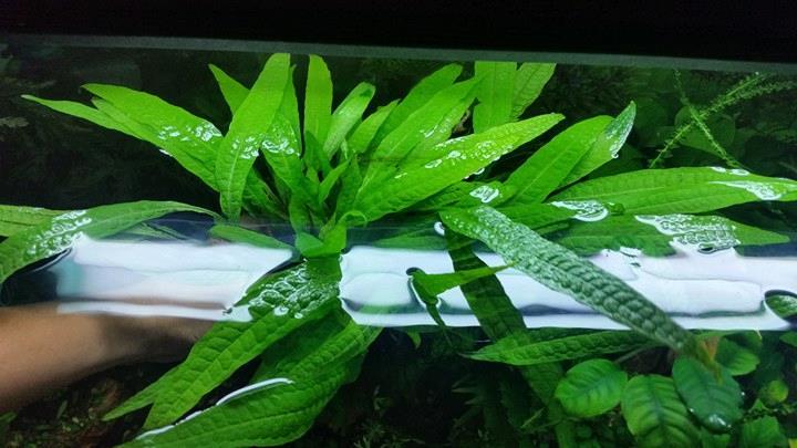 Cây thủy sinh dương xỉ philip có một màu xanh vô cùng bắt mắt