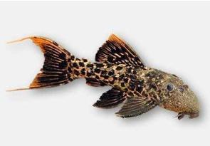 Ikan Sapu Sapu Titanicus pleco