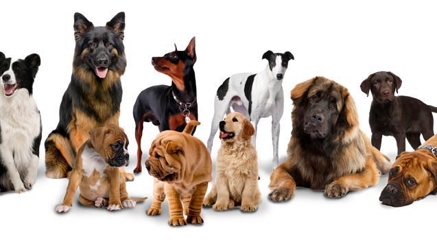 Bảng giá các loại chó cảnh hợp lí nhất!