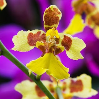 Gambar Bunga Anggrek Tercantik di Dunia 23
