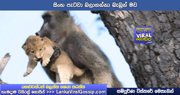 baboon-mother-lion-cub