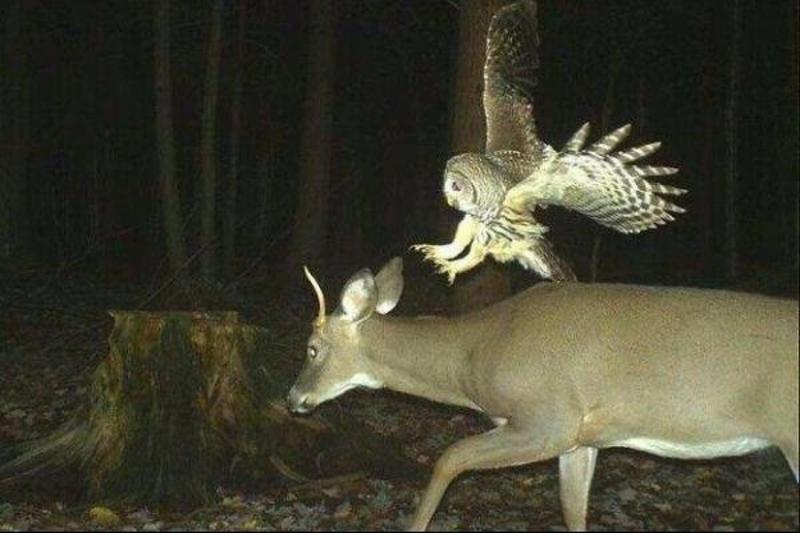 A-Striking-Owl