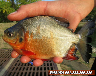 Essen Ikan Bawal Khusus Harian