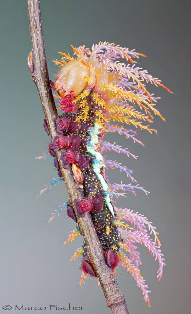 12 Mysterious But Beautiful Creatures You've Probably Never Seen - SATURNIID MOTH CATERPILLAR